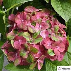 Hydrangea macrophylla magical®  'Green Fire': conteneur 5 litres