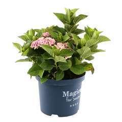 Hydrangea Magical Revolution rose: ctr 5L