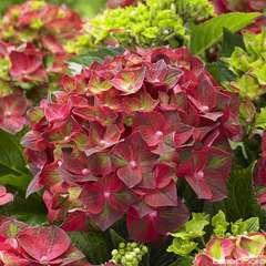 Hydrangea macrophylla 'Ruby Tuesday ' : conteneur 5 litres