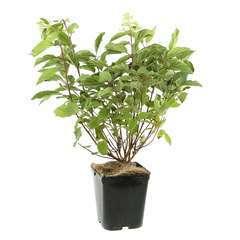 Hydrangea panniculata 'Phantom' :conteneur 5 litres