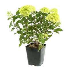 Hydrangea panniculata 'Silver Dollar' :conteneur 5 litres
