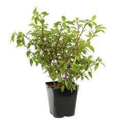 Hydrangea paniculata ' Sundae Fraise ' ® :conteneur 5 litres