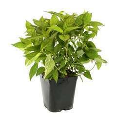 Hydrangea Serrata 'Grayswood', ctr 5 L