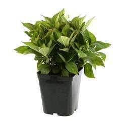 Hydrangea macrophylla 'Teller Messalina': conteneur 5 litres