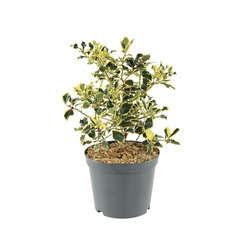 Ilex aquifolium 'Argenteomarginata':conteneur 7,5 litres