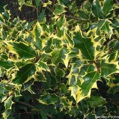 Ilex aquifolium 'Mme Briot':conteneur 3 litres
