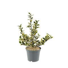 Ilex aquifolium 'Mme Briot':conteneur 7,5 litres