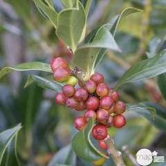 Ilex aquifolium 'Pyramidalis':conteneur 7,5 litres