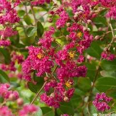Lilas des Indes rouge pot 3L