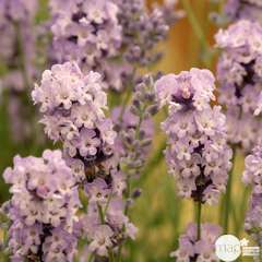 Lavandula angustifolia 'Rosea' : 2 L RC