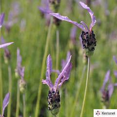 Lavandula stoechas 'Pedunculata' :conteneur 2 litres