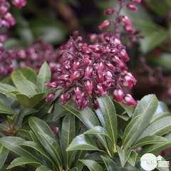 Pieris japonica ' Passion' : ctr 3L