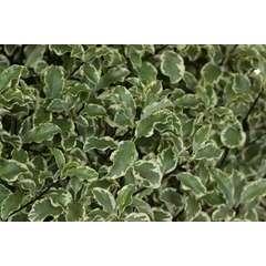 Pittosporum tenuifolium: Argyrophyllum 12L