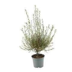 Pittosporum tenuifolium 'Green Elf':H 30/40 cm conteneur 3 litres