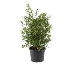 Pittosporum tenuifolium 'Mahi': conteneur 12 litres