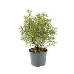 Pittosporum tenuifolium 'Pennmarch':H 30/40 cm conteneur 3 litres