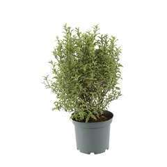 Pittosporum tenuifolium 'Pennmarch': conteneur 5 litres