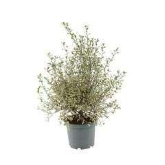 Pittosporum tenuifolium 'Victoria':conteneur 5 litres