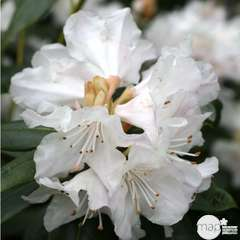 Rhododendron nain x 'Dora Amateis':conteneur 3 litres