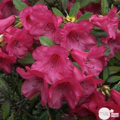 Rhododendron nain 'Elizabeth' : ctr 3 litres