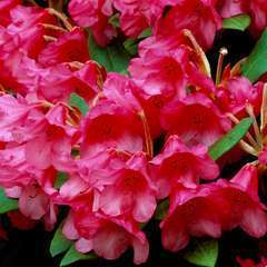 Rhododendron nain 'Winsome' : ctr 3 litres