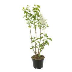 Syringa vulgaris 'Comtesse d'Harcourt':conteneur 5 litres