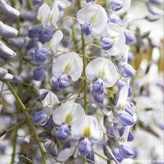 Glycine de Chine Sinensis Prolific  Conteneur de : 3 L
