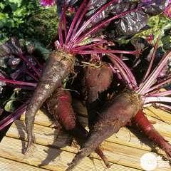Plants de betteraves rouge 'Crapaudine' : barquette de 6 plants