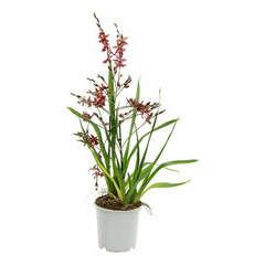 Orchidée Cambria 1 tige - pot D.11 cm
