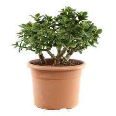 Crassula ovata 'Minor' : pot diamètre 20 cm, hauteur 40 cm