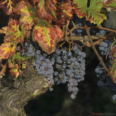 Vigne 'Cabernet Franc' : pot de 1,5 litres