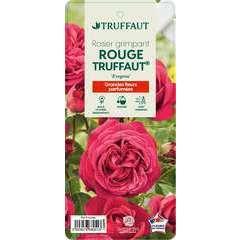 Rosier grimpant 'Rouge Truffaut®' (Evegrou) : pot de 5 litres