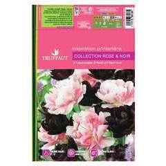 Bulbes de tulipes double rose - x15