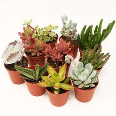 Succulentes variées: Pot D5.5cm Lot de 10