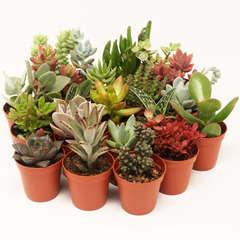 Succulentes variées: Pot D5.5cm Lot de 20