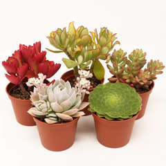 Succulentes variées: Pot D8cm Lot de 5