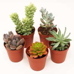 Succulentes Mexicaines: Pot D5.5cm Lot de 5