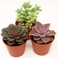 Succulentes Mexicaines: Pot D8cm Lot de 3
