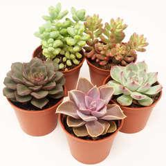 Succulentes Mexicaines: Pot D8cm Lot de 5
