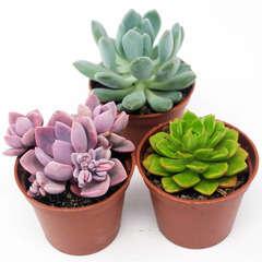 Succulentes Mexicaines hybrides: Pot D8cm Lot de 3
