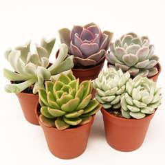Collection d'Echeveria: Pot D5.5cm Lot de 5