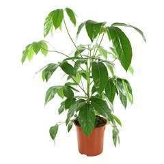 Schefflera actinophylla:pot diamètre 24 cm