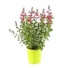 Salvia 'James Compton':conteneur 2 litres
