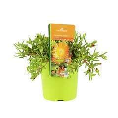 Pourpier vivace 'WoW Orange Wonder'® : C2L