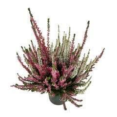 Calluna Beauty Ladies®  : bicolore, C0.5L