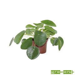 Pilea peperomioides : pot diamètre 11  cm