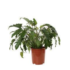 Philodendron Xanadu D27 H70