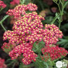 Achillée Millefolium 'Paprika' : lot 3 godets