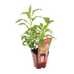 Alstroemeria aurantiaca rouge: lot de 3 godets