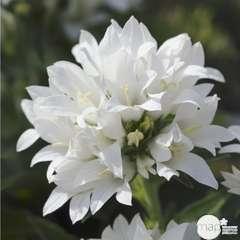 Campanule agglomérée blanche Alba :lot de 3 godets